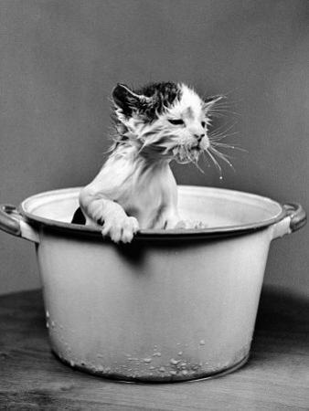 Kitten Emerging from Pot of Milk after Falling into It