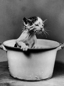 Kitten Emerging from Pot of Milk by Nina Leen