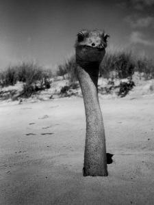 Ostrich in Sand by Nina Leen