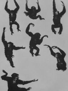 Young Siamans at Zoo by Nina Leen