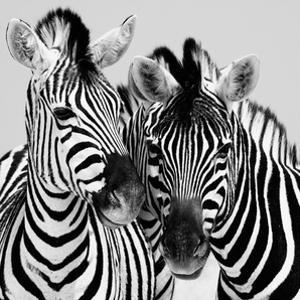 Namibia Zebras by Nina Papiorek