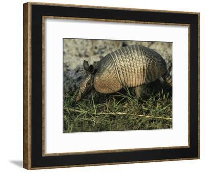 Nine-Banded Armadillo, Melbourne, Florida-Bianca Lavies-Framed Photographic Print