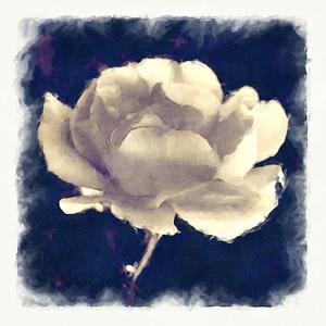 Melancholy Rose by Noah Bay