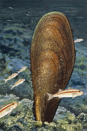 Noble Pen Shell or Fan Mussel (Pinna Nobilis or Pinna Squamosa), Pinnidae  Giclee Print by | Art com