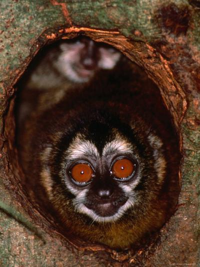 Nocturnal Nightowl Monkey, Which Ranges in the Wild Throughout Central and South America-Tom Boyden-Photographic Print