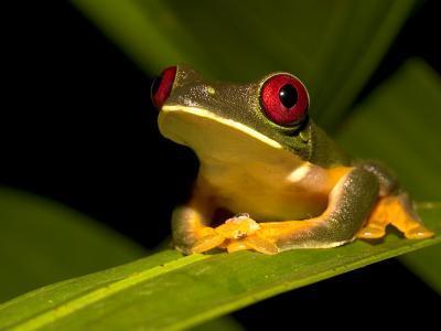 Nocturnal Red-Eyed Tree Frog (Agalychnis Callidryas) Sitting on Leaf-Roy Toft-Photographic Print