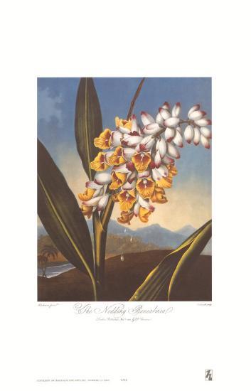 Nodding Renealmia-Dr^ Robert J^ Thornton-Art Print