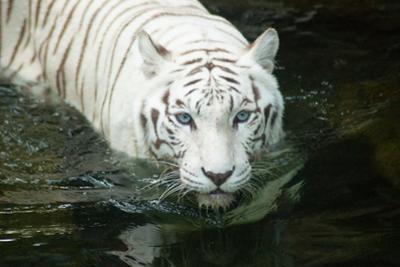 White Tiger by noelbynature