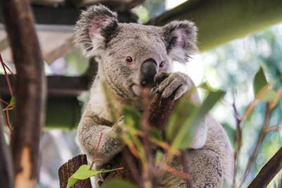 Beautiful and Awake Koala, Queensland, Australia, Pacific