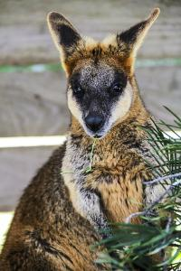 Kangaroo Eating and Looking at the Camera, Queensland, Australia Pacific by Noelia Ramon