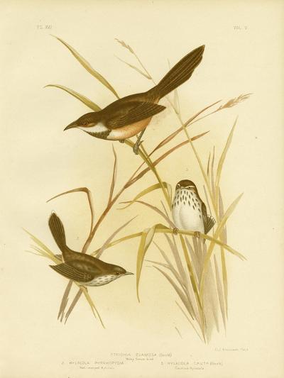 Noisy Scrub Bird, 1891-Gracius Broinowski-Giclee Print