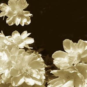 Non-Embellished Sepia Peonies I