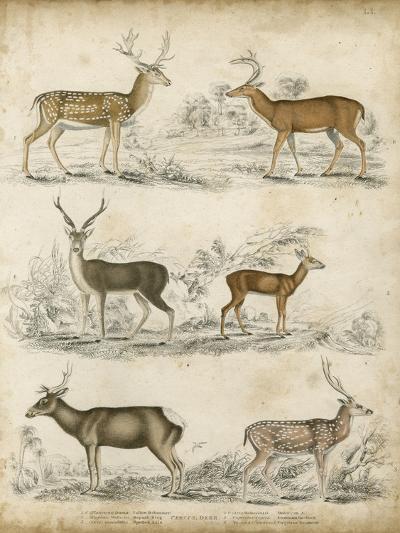 Non-Embellished Species of Deer--Art Print
