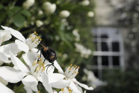 Noon Fly (Mesembrina Meridiana) on Mexican Orange Blossom (Choisya Ternata) Flowers in Garden-Nick Upton-Photographic Print