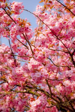Japanese Ornamental Cherry, Branches, Blossoms, Detail, Outside, Tree, Sky, Blue, Sunny, Spring
