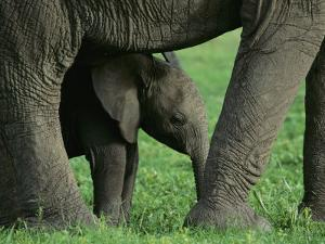 A Baby African Elephant Stands under an Adult by Norbert Rosing