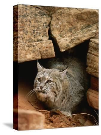 A Bobcat Pokes out from its Alcove in a Controlled Condition Setting
