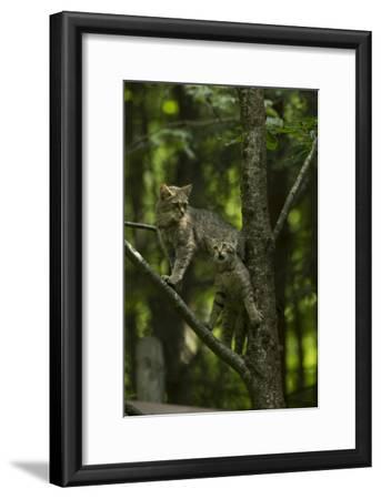 A Captive Wildcat, Felis Sylvestris, and Her Kitten, Climbing a Tree in an Enclosure