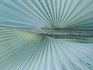 A Close-up of a Brongniartikentia Palm Frond by Norbert Rosing