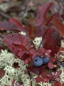 A Cluster of Blueberries Among Lichens on Tundra in Fall Colors by Norbert Rosing