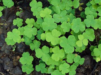 A Cluster of Bright Green Shamrocks