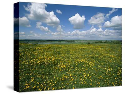 A Field in the Oder River Valley Blanketed with Yellow Wildflowers