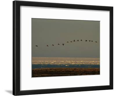A Flock of Canada Geese in Flight