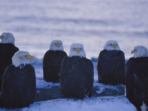 A Group of Bald Eagles Rest on a Breakwater in Homer by Norbert Rosing