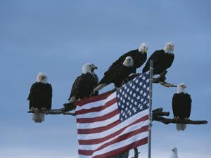 A Group of Northern American Bald Eagles Sit on a Trees Sparse Perches by Norbert Rosing