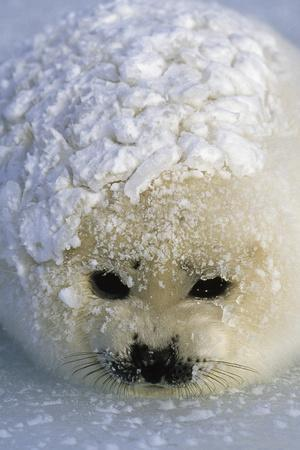 A harp seal pup wakes up with a snowy coat after a snowstorm.