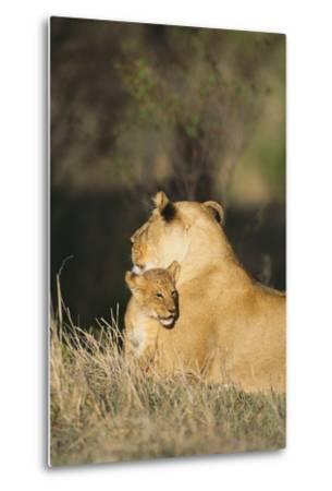 A Lion Cub Nestles Against Its Mother