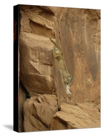 A Mountain Lion Soars Down the Side of a Cliff