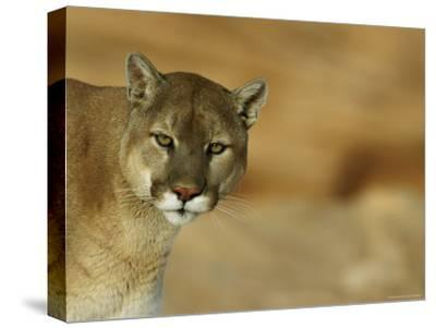 A Mountain Lions Pauses in Front of the Camera