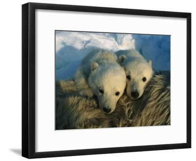 A Pair of Young Polar Bear Cubs