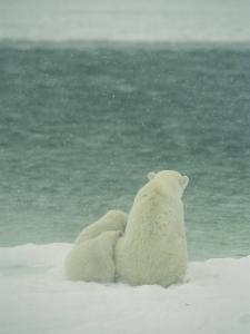 A Polar Bear and Her Cubs Sit Near Waters Edge by Norbert Rosing