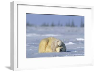 A Polar Bear Cub Plays with It's Resting Mother. Ursus Maritimu