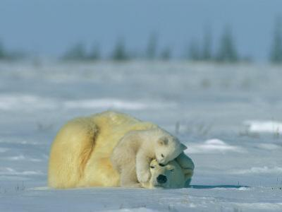 A Polar Bear Cub Rests Soundly Atop its Mothers Head by Norbert Rosing