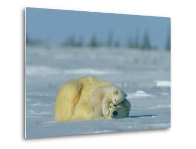 A Polar Bear Cub Rests Soundly Atop its Mothers Head