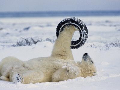 A Polar Bear Plays with an Old Tire