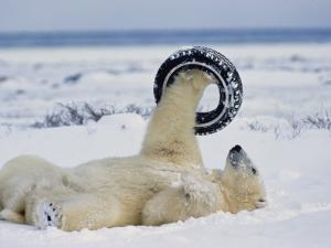 A Polar Bear Plays with an Old Tire by Norbert Rosing