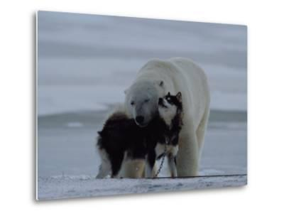 A Polar Bear (Ursus Maritimus) and a Husky Cuddle up to Each Other in the Snow