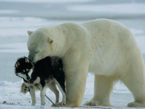 A Polar Bear (Ursus Maritimus) Snuggles up to a Chained Husky by Norbert Rosing