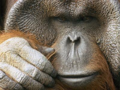 A Portrait of a Captive Male Orangutan