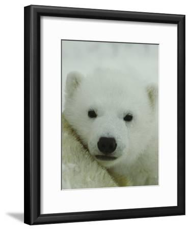 A Portrait of a Polar Bear Cub