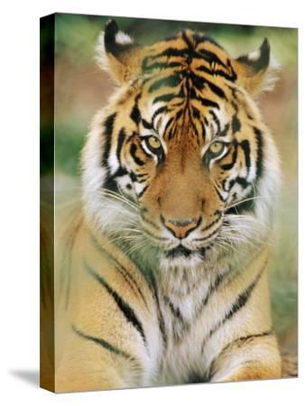 A Portrait of a Sumatran Tiger