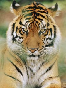 A Portrait of a Sumatran Tiger by Norbert Rosing