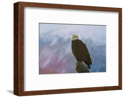 A Portrait of an American Bald Eagle, Haliaeetus Leucocephalus