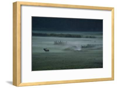 A Red Deer Bellows on a Foggy Evening During Rutting Season