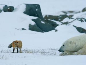A Red Fox and a Polar Bear Eye Each Other Cautiously on the Hudson Bay Coast by Norbert Rosing