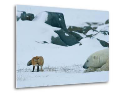 A Red Fox and a Polar Bear Eye Each Other Cautiously on the Hudson Bay Coast